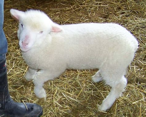 tiny small ewe oughta be in pictures willow house chronicles