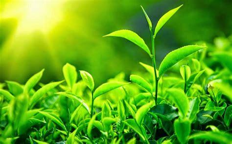 fungsi daun pada tumbuhan kreativitas alam