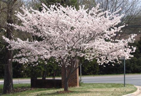 alberi piccoli da giardino ciliegi da fiore per piccoli giardini piante da giardino