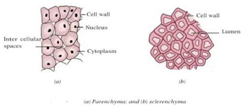 parenchyma tissue diagram image gallery sclerenchyma diagram