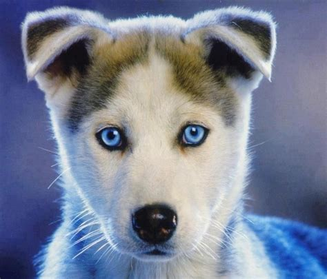 blue eyes huskies cute husky puppies cute husky siberian husky puppies
