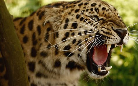 What Is Jaguar Jaguar Facts History Useful Information And Amazing Pictures