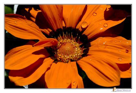 margherita immagini fiori margherita foto immagini piante fiori e funghi natura