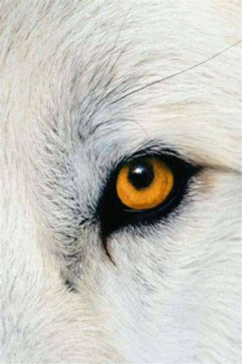 wolf eye color best 25 wolf ideas on