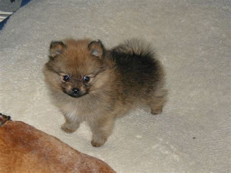where did pomeranians come from pomeranians