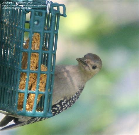 detailed information  red bellied woodpecker melanerpes
