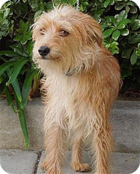 blossom havanese winnetka ca wheaten terrier whippet mix meet honey a puppy for adoption dogs