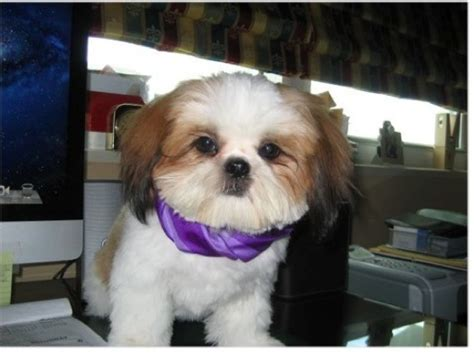 shih tzu breeders in miami florida pooch pics 8