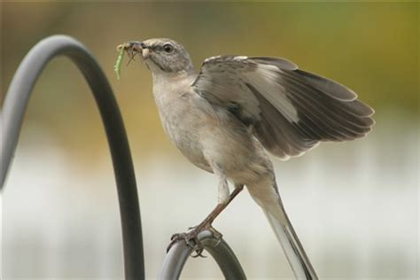 southern mockingbird on my bird feeder jd7816 galleries