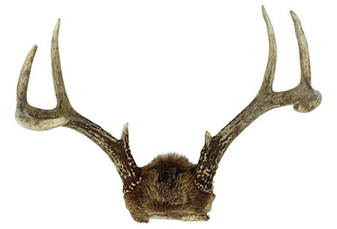 Vintage Home Decor Accessories by White Tail Deer Antlers Omero Home