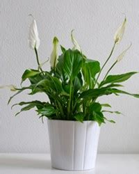 indoor plants that don t need sun dress up your home with these indoor plants that don t