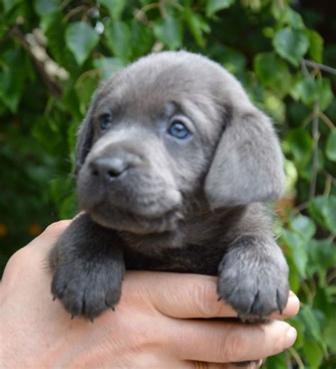 this puppy charcoal labrador retriever puppy pets4homes