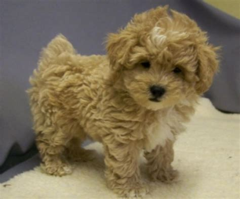 shi poo 10 images about shih poo on pinterest toy poodles shih