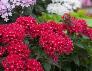 Flowering Tropical Shrubs - 22 best flowers for full sun heat tolerant flowers for containers balcony garden web