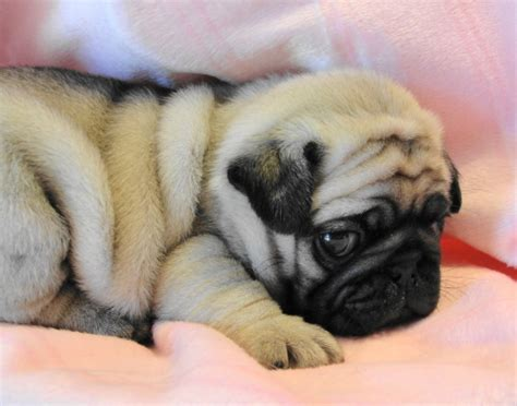 pug squishy squishfacedogs a collection of dogs with squished faces what s not to