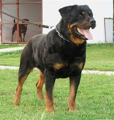 black and brown breeds black and brown dogs breeds