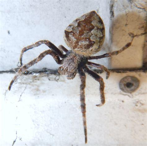 Garden Orb Weaver Spider by Pest Blacktown Redline Pest Sydney