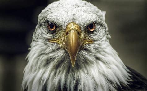 wallpaper 4k eagle bald eagle wallpaper hd desktop wallpapers 4k hd