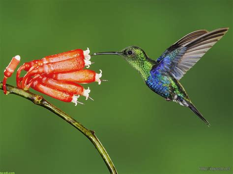 colibri bird desktop wallpaper background wallpaper hd