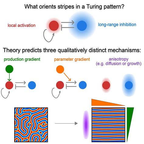 pattern of cell theory a mathematical model for animal stripes