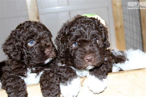 lagotto romagnolo puppies for sale jake lagotto romagnolo puppy for sale near nanaimo columbia 4eba92f4 01f1