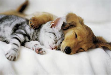animal in bed cuddles cat dog cuddling in bed laminated poster animal