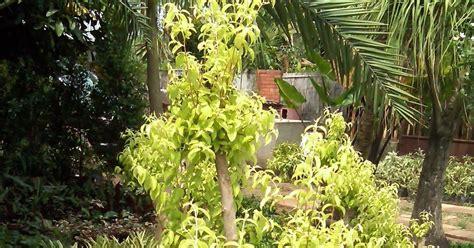 jual pohon anting putri bonsai taman minimalis