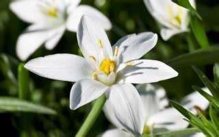 fiori di bach stella di betlemme fiori di bach of bethlehem stella di betlemme libera