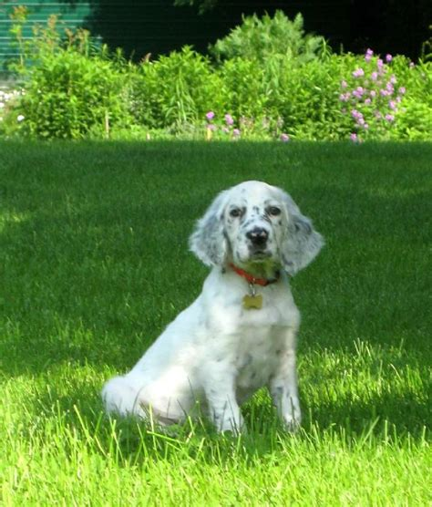 english setter apartment dog puppy pictures and gallery english setter puppy pictures