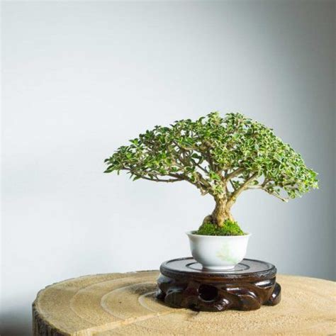 Bonsai Serisa 10759 Limited bonsai tree shohin juniper squamata with jin free