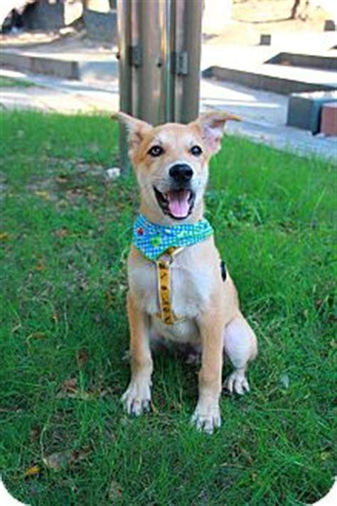 shiba golden retriever mix kuwa adopted puppy temple city ca golden retriever shiba inu mix