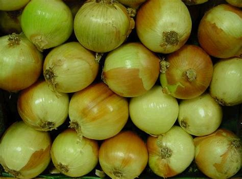 onion links 11 jpg esperanzamcpl onions jpg links