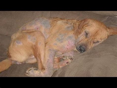 mange cure how to treat mange in dogs