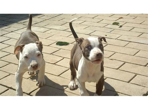 yellow pitbull puppies for sale american pit bull terrier puppies registered pretoria tshwane puppies for sale