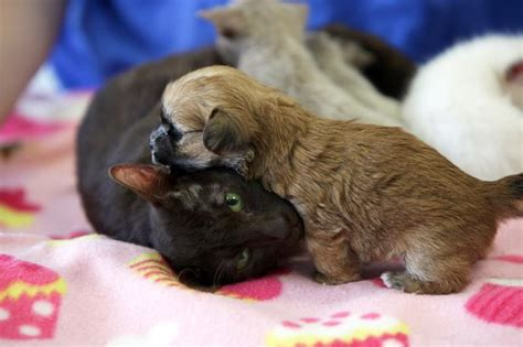 shih tzu and cats siamese cat adopts shih tzu puppy with cats