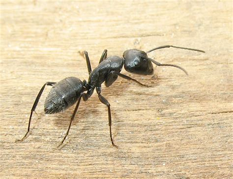 come eliminare le formiche dal giardino come eliminare definitivamente le formiche dalla casa