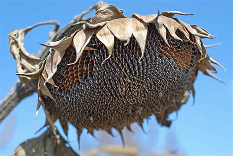 country lore grow sunflowers for winter bird seed