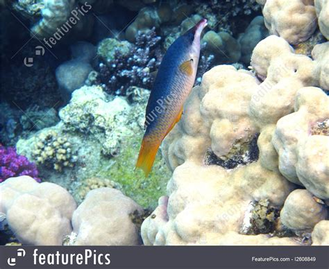 bird wrasse aquatic veterinary services of northern aquatic wildlife green birdmouth wrasse stock picture