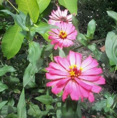 10 Benih Biji Bunga Zinnia Carpet benih zinnia lokal pink 10 biji non retail