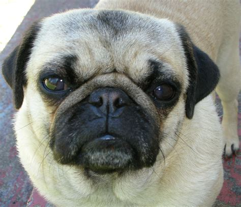 about pug this serious pug wants to what you ve done with the cookies now about pug