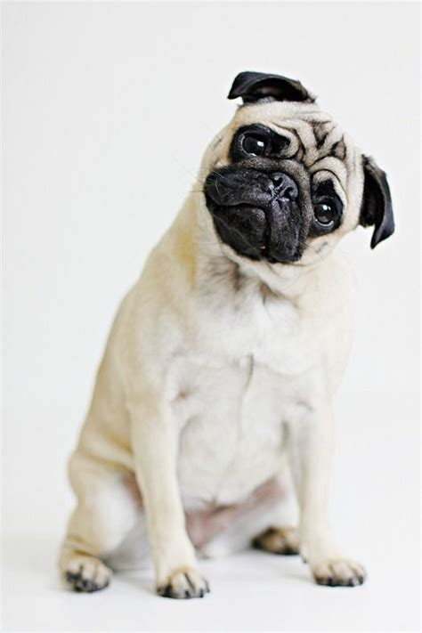 why do pugs tongues stick out 31 best the best of pugs images on fluffy pets adorable animals and