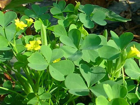 three leaf clover plant informaton on clovers