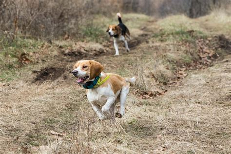 how to a to fetch birds beagle rabbit 1001doggy