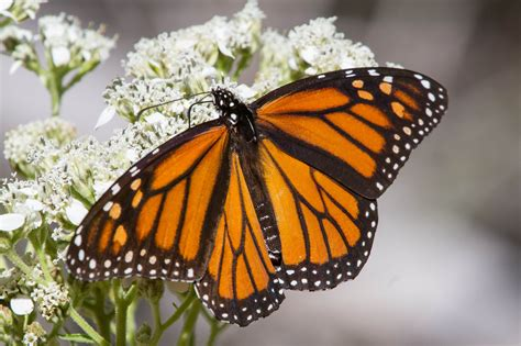 the monarch of the austin texas creates habitat for the declining monarch