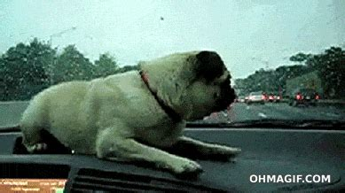 surprised pug pug surprised by windshield wipers gifs and animated gifs