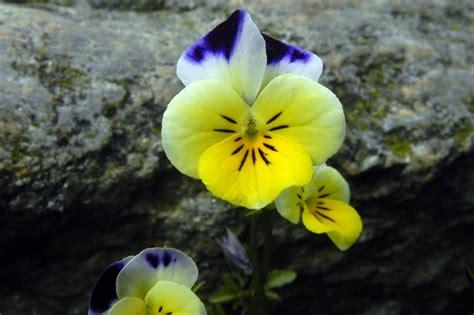 fiori spontanei viola i fiori spontanei biellese
