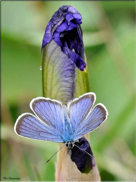 Butterfly Iris Blue T1310 3 100 best images about blue moth mavi g 252 ve on oregon willamette valley and the iris