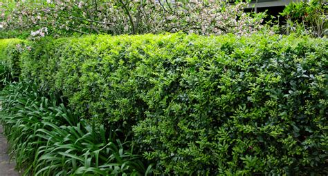 Home Decorating Tips by Bring Your Murraya Hedge From The Brink Better Homes And