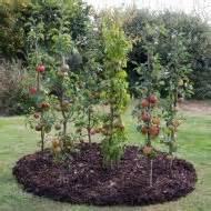 Flowering Quince Tree - vertical cordon columnar fruit trees patio fruit trees