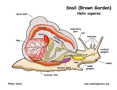 snail diagram snail diagram for 28 images snail inquiry read observe